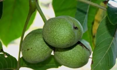 Найбільш вдалий час для збору горіхового листя - початок літа