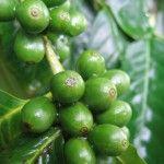 Зелена кава для схуднення в капсулах